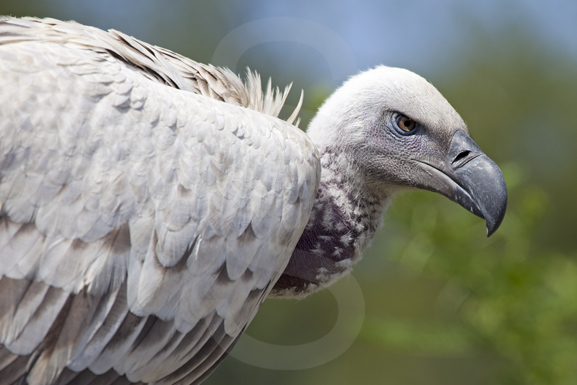 African Cape vulture