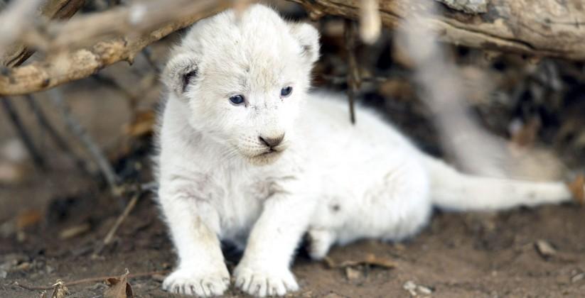 witte leeuwen project hoedspruit